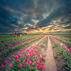 Endless tulip field