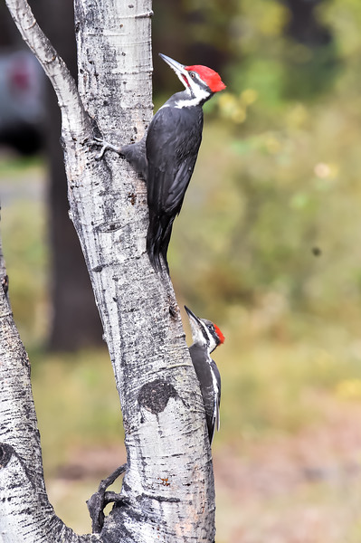 7813: Pileated Woodpeckers in McCall