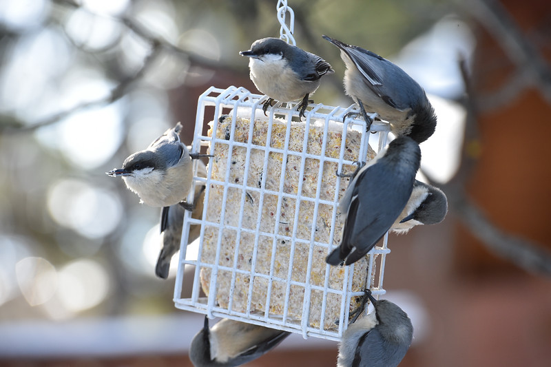 3746:  Nuthatches on Feeder