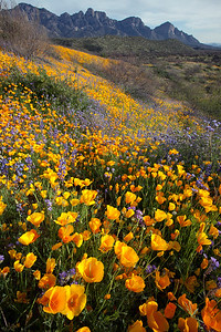 Spring in the Sonoran Desert. Mexican Poppies and Lupin bloom in Catalina State Park, Tucson, Arizona