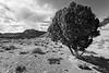 A Tree Grows in Utah