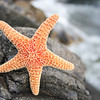 "Starfish on the rocks! <a href=""http://www.istockphoto.com/file_search.php?action=file&lightboxID=8618733"">Available for purchase from William Britten iStockphoto</a>"