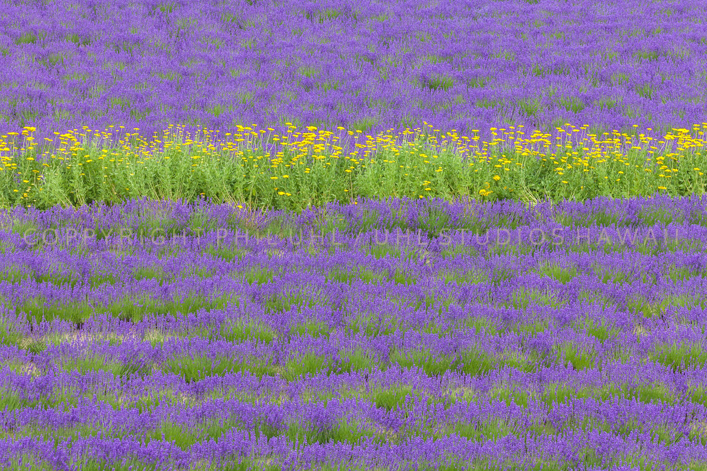 Lavender With Yellow Flowers