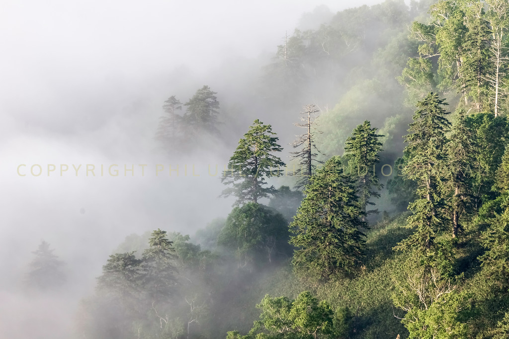 Misty trees in the clouds