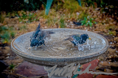 Spring Robins in my Birdbath
