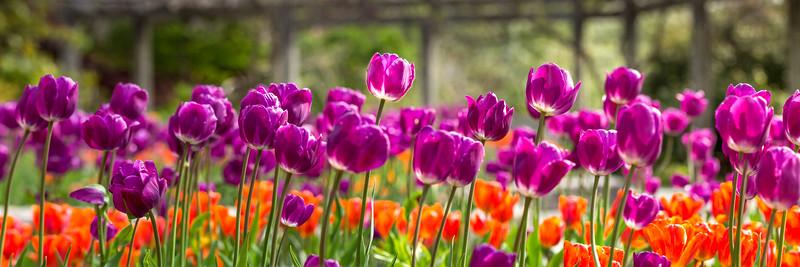 Purple_tulips
