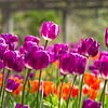 Purple_tulips