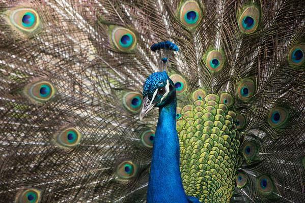 Peacock display!