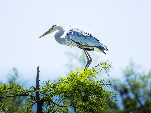 Heron surveying the swamp.