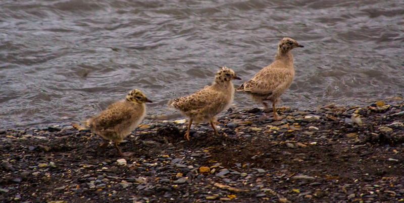 Murr Gull chicks learning to swim and fly along the Savage River, Denali NP