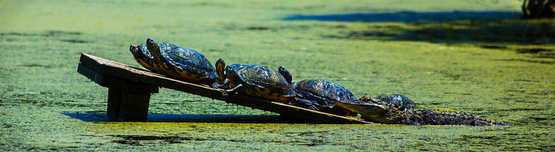 Turtles and alligator sunning together.  Audubon Swamp, South Carolina