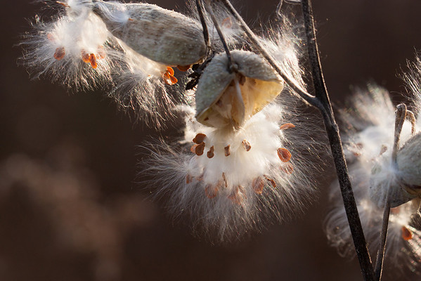 Fall Asclepias, Milkweed releases its seeds