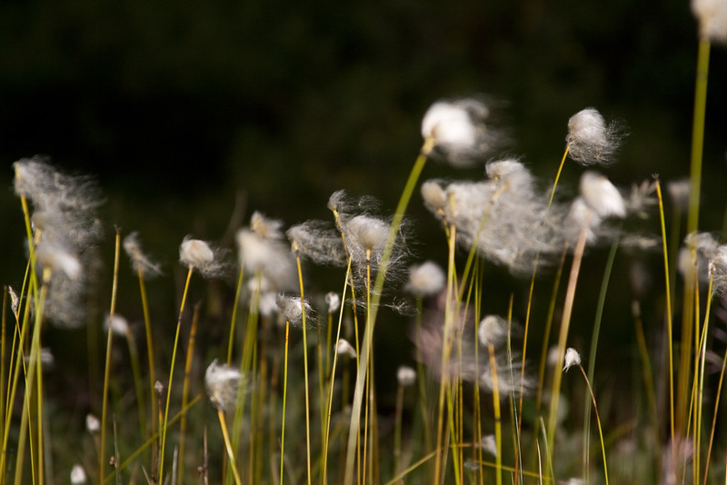 Alaska Cotton Grass along the Savage River, Denali NP