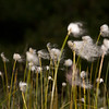 Alaska Cotton Grass along the Savage River, Denali NP