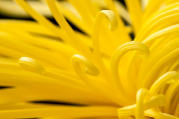 Chrysanthemum_13