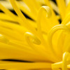 Chrysanthemum_13