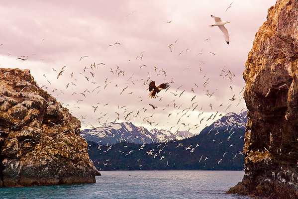 Gull Island Alaska - with 30,000+ birds - black-legged kittiwakes, common murres, glaucous-winged gulls, pelagic cormorants, tufted puffins, pigeon guillemots, horned puffins, red-faced cormorants and of course - eagles!