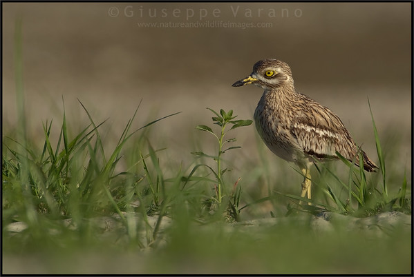 Occhione - Stone Curlew  ( Burhinus oedicnemus )  Giuseppe Varano - Nature and Wildlife Images - Birds and Nature Photography