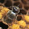 Emerging Drone Honeybee