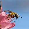 Native Bee on Peach Blossom