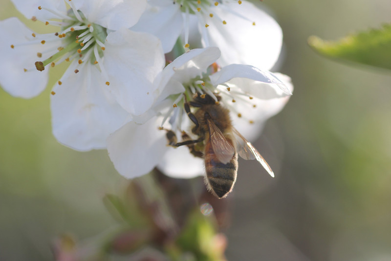 Honeybee on Cherry Blossom
