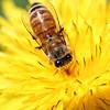 The Dandelion & the Honeybee