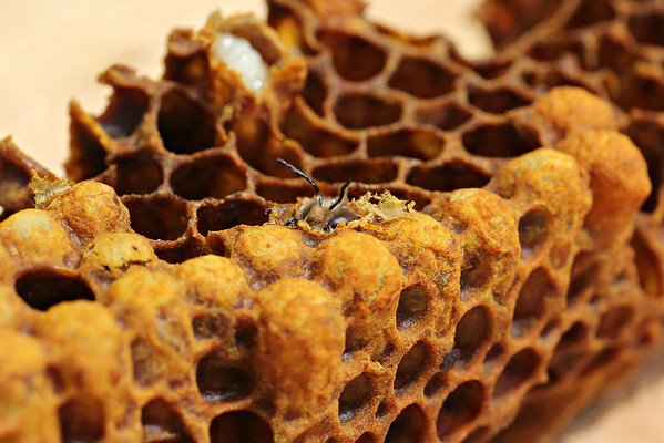Hatching Drone Honeybee
