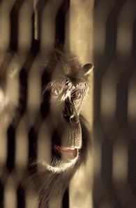 Caged Chimpanzee - San Francisco Zoo for Wall Street Journal
