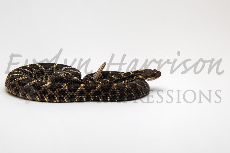 Arizona Black Snake