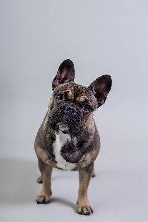 Edinburgh dog photography studio maisie