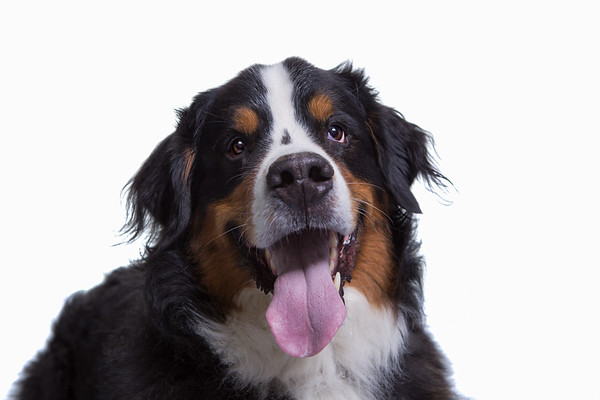 Edinburgh dog photography studio balrog p