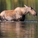 Grazing Moose