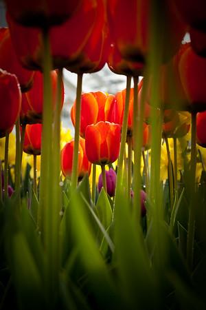 The Tulip Tunnel