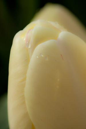 White Chocolate Tulip