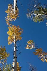 Aspens and blue sky up Adams Gulch.
