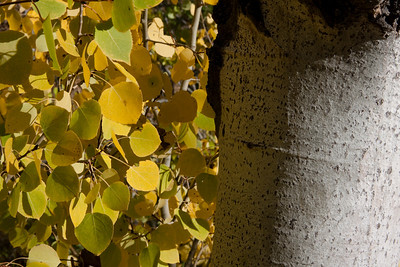 Aspen bark and yellow leaves.