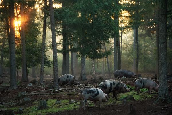 Pig paradise II