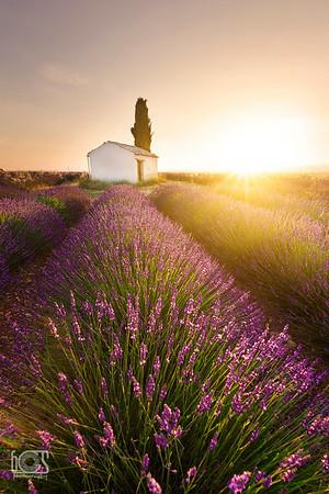 Sunrise over lavenders
