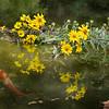 Koi with Sunflowers