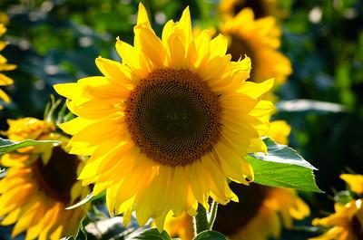 Sunflower at Donaldson Farms