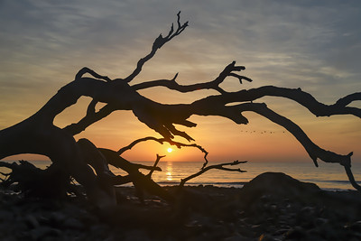 Sunrise peeking through the driftwood at Jekyll Island