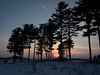 Red Pines At Sunset