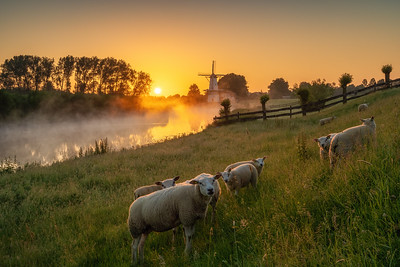 Just some sheep at sunrise