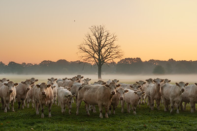 Just some cows and a dead tree