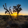 Sunset and Joshua Trees.