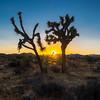 Sunset and Joshua Trees.