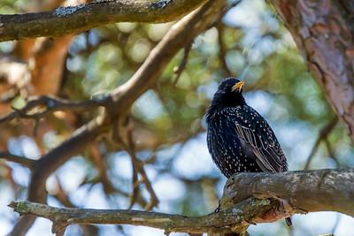 Common Starling - Kottarainen - Sturnus vulgaris
