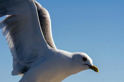Common Gull - Kalalokki - Larus canus