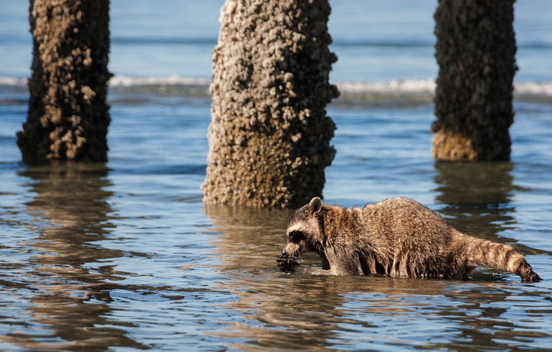 Raccoon trying to open a clam below the White Rock Pier.  Never seen a raccoon at the beach before.