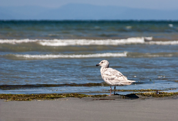 Lone Seagull Standing on the beach